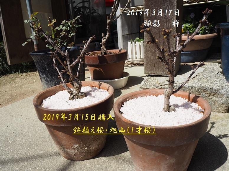 2019年3月17日旭山桜1