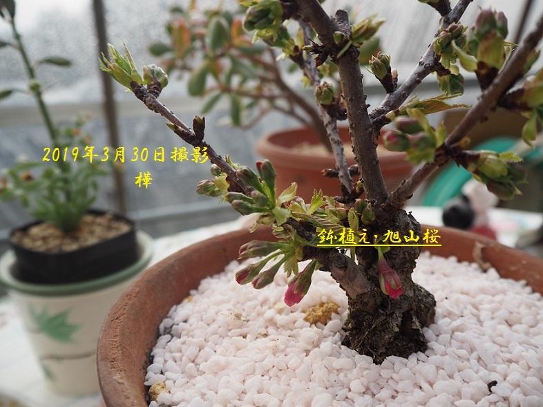 2019年3月30日桜鉢花2