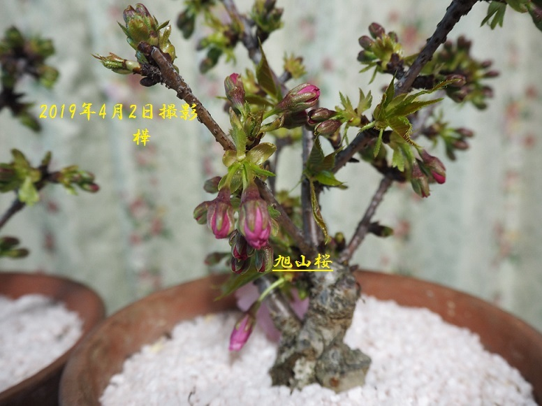 2019年4月2日旭山桜その3