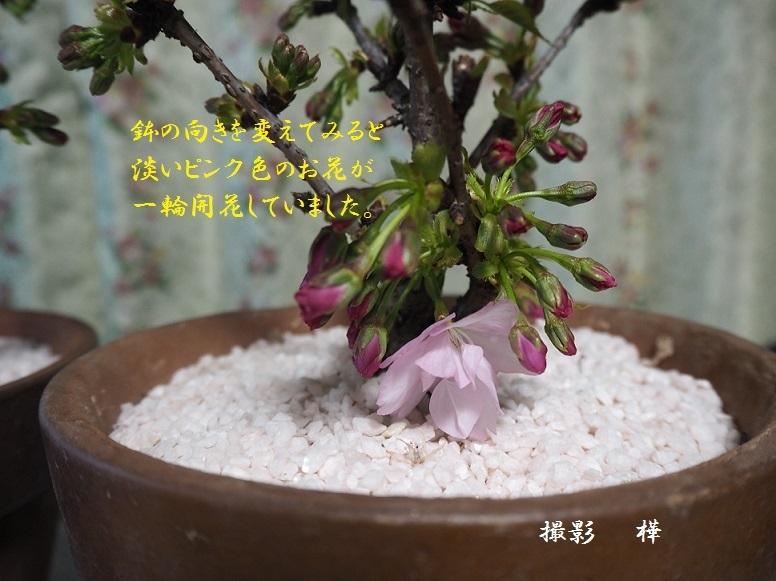 2019年4月2日旭山桜5