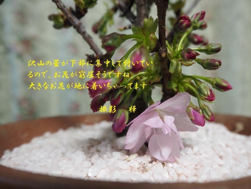 2019年4月2日桜山桜6