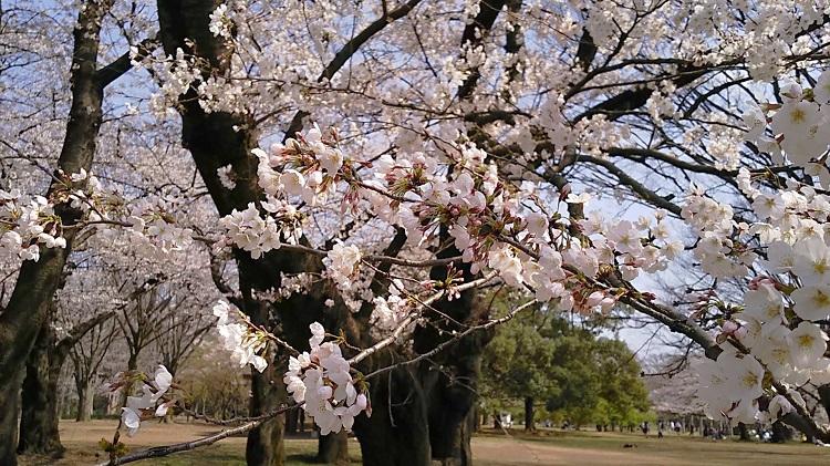 20190327代々木公園桜2