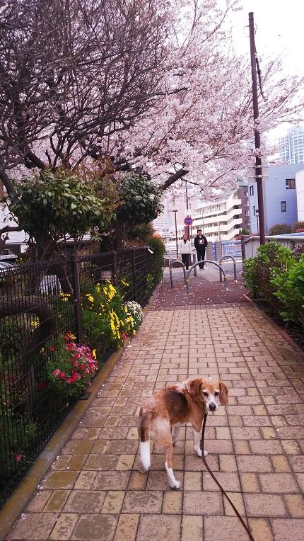 20190330桜のお家の前で