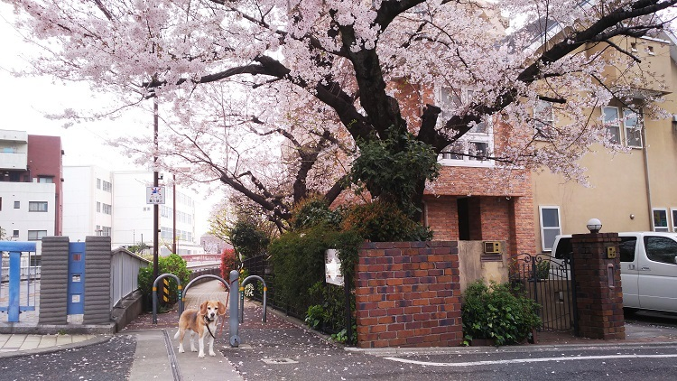 20190330桜の木の下で