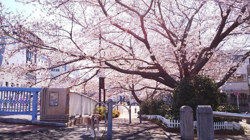 20190402川沿いの桜