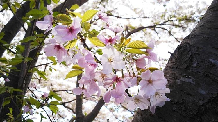 20190403何桜だろう