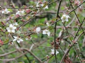 ナガバモミジイチゴ(田)