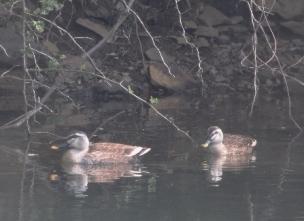 池のカルガモ(鵲)