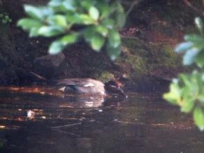 池のコガモ♂(鵲)