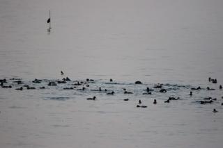 少し沖のホシハジロの群れ(鵲)
