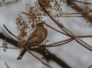 シロハラ(鵲)