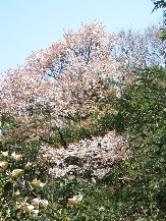 190326043 見事な山桜(田)