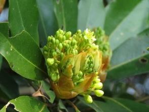190326035 タブノキの花を拡大(田)