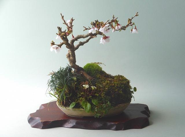 H31年3月27雲竜富士桜