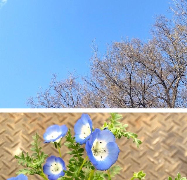 代々木公園とネモフィラ