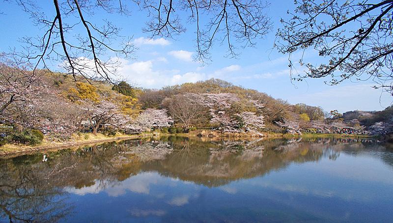190331,三ツ池公園の桜1