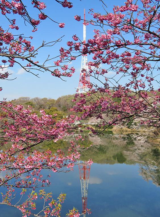190331,三ツ池公園の桜2