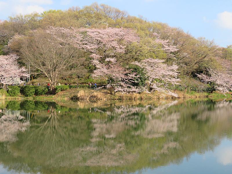 190331,三ツ池公園の桜4