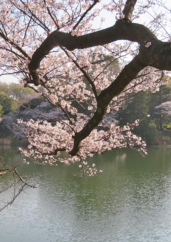 190331,三ツ池公園の桜5