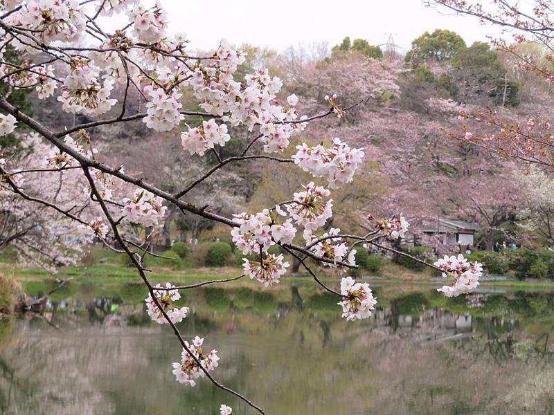 190331,三ツ池公園の桜6