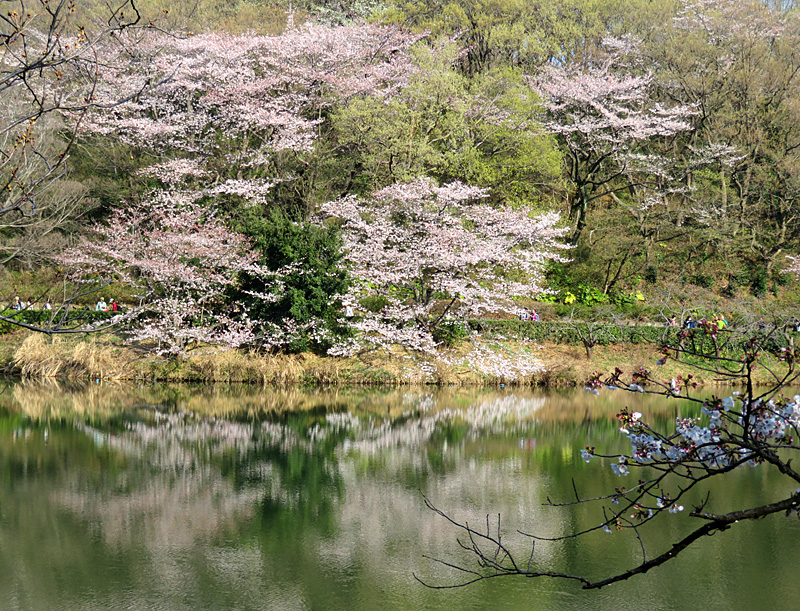190331,三ツ池公園の桜7