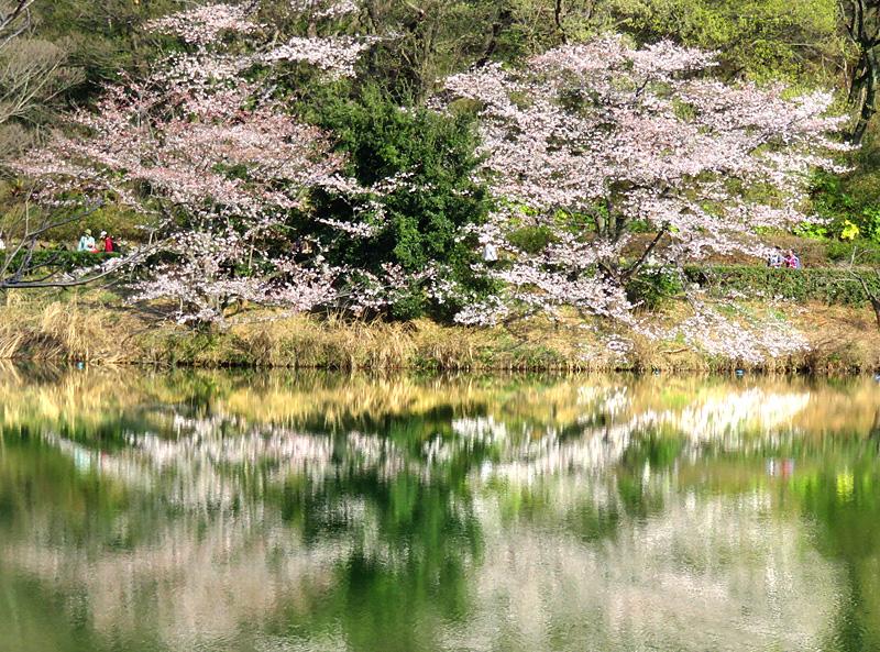 190331,三ツ池公園の桜8