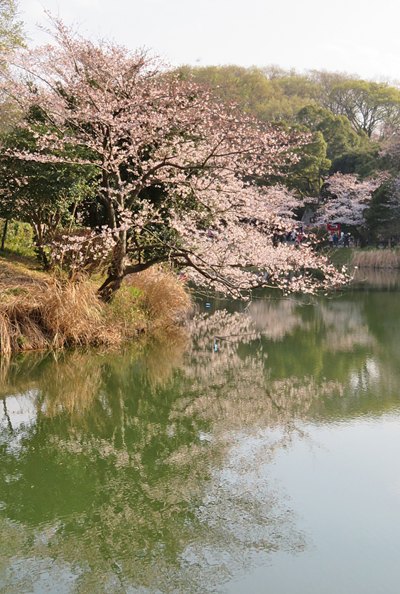 190331,三ツ池公園の桜9
