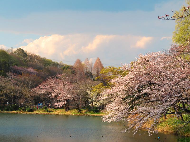 190331,三ツ池公園の桜10