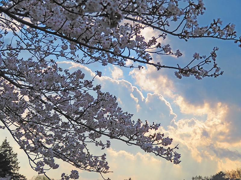 190331,三ツ池公園の桜11