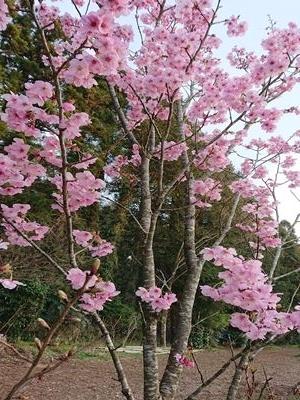 haibuga-dennno sakura