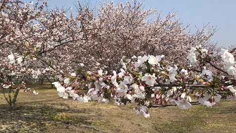 20190406丸一鋼管の桜2