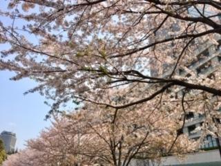 TMTの桜1