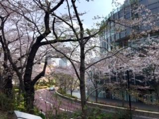 TMTの桜2