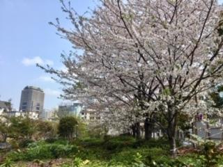 TMTの桜3