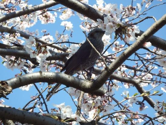 桜 ヒヨドリ