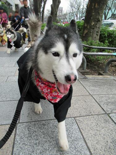 ハスキーズ・ひな祭りウォーク2019リベンジ☆
