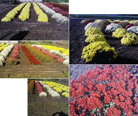 庭と家庭菜園の菊111107_3