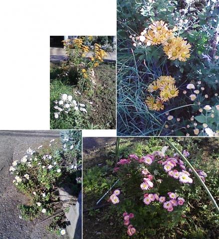 庭と家庭菜園の菊111107_1