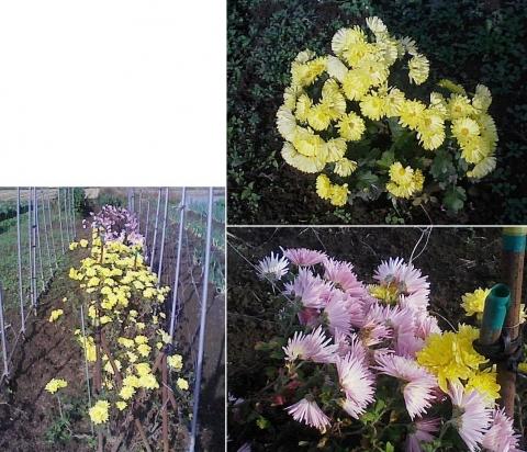 庭と家庭菜園の菊111107_5