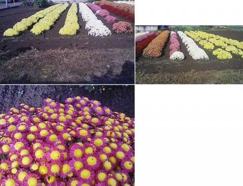 庭と家庭菜園の菊111107_4