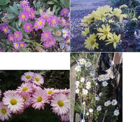 庭と家庭菜園の菊111107_2