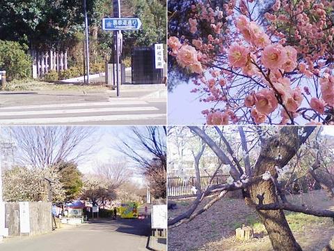 さいたま市・大宮第二公園の梅園(索引記事用、連結)