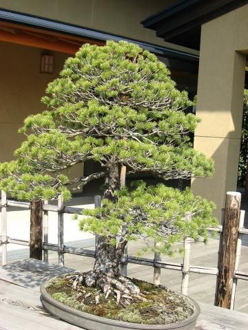 oomy-bonsai08