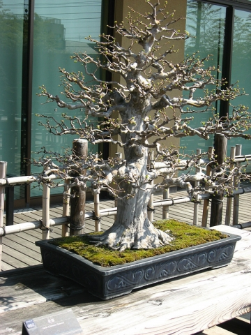 oomy-bonsai09