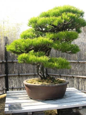 oomy-bonsai10