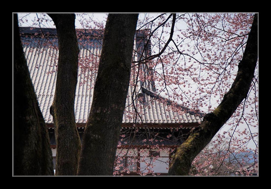 寺のコヒガンザクラ
