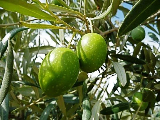 olive114
