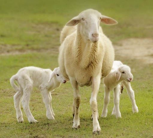 pecore_1b