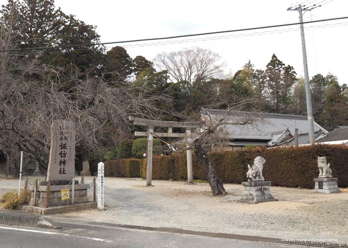 《いわき市桜情報2019》小川諏訪神社のシダレザクラ 蕾が膨らみ始めています! [平成31年3月18日(金)更新]1