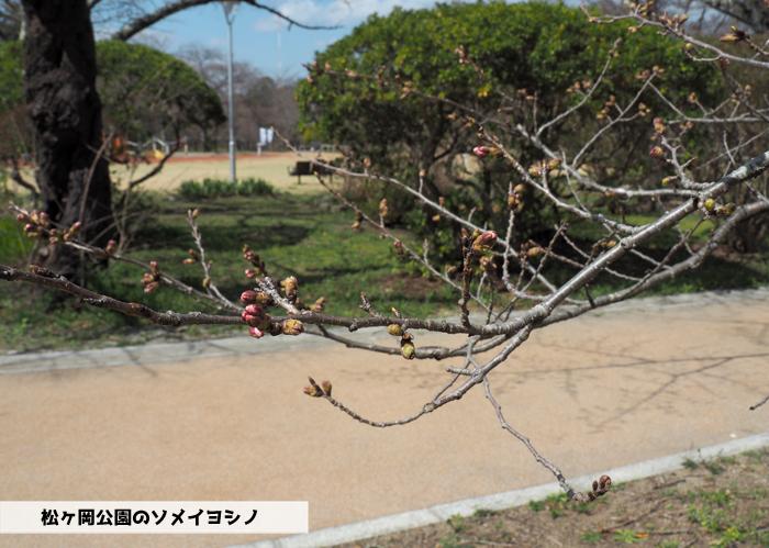 《いわき市桜情報2019》松ヶ岡公園のソメイヨシノ「蕾膨らむ」 [平成31年3月24日(日)更新]1